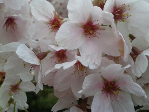 Cheshire Cherry Blossom
